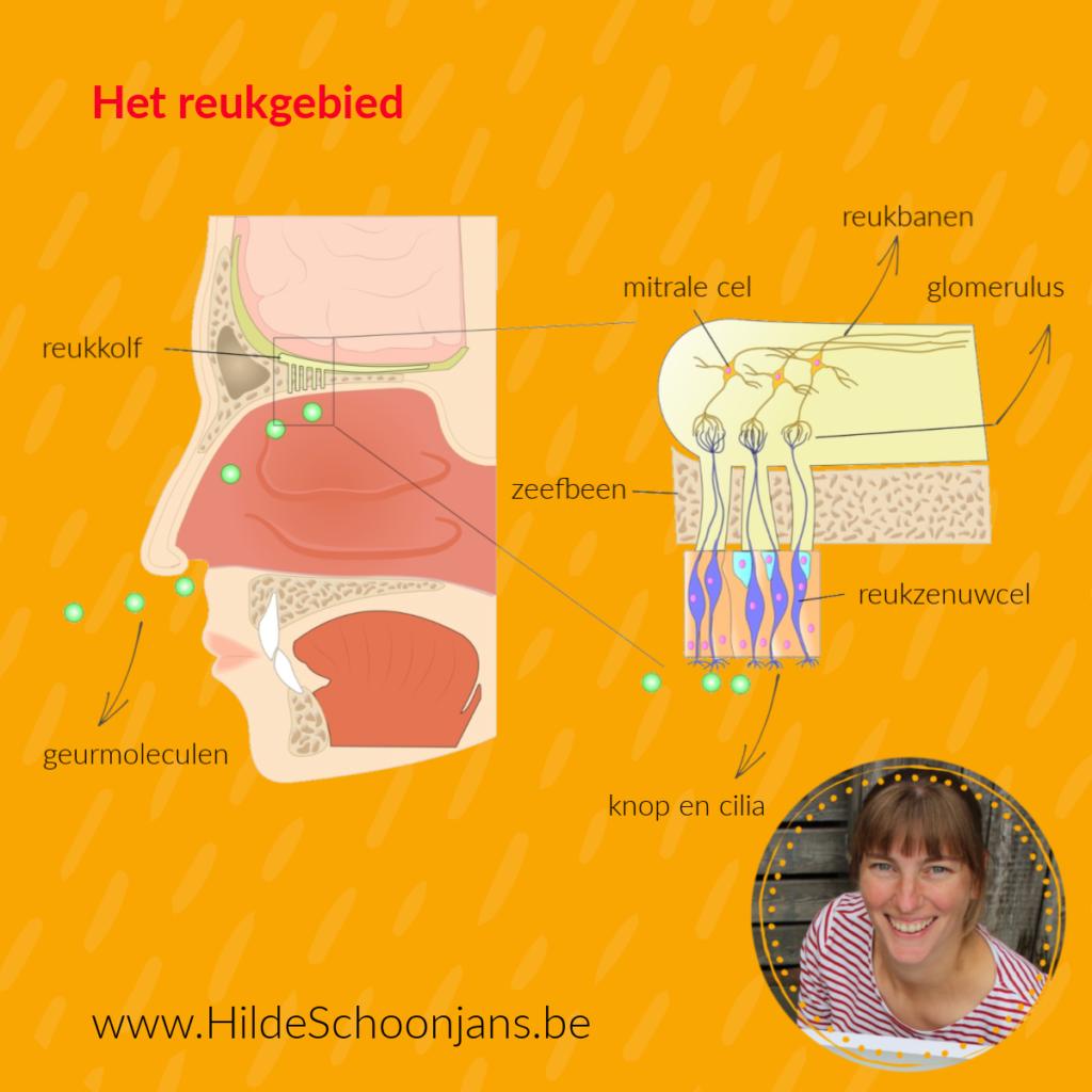 receptorcellen in de neusholte